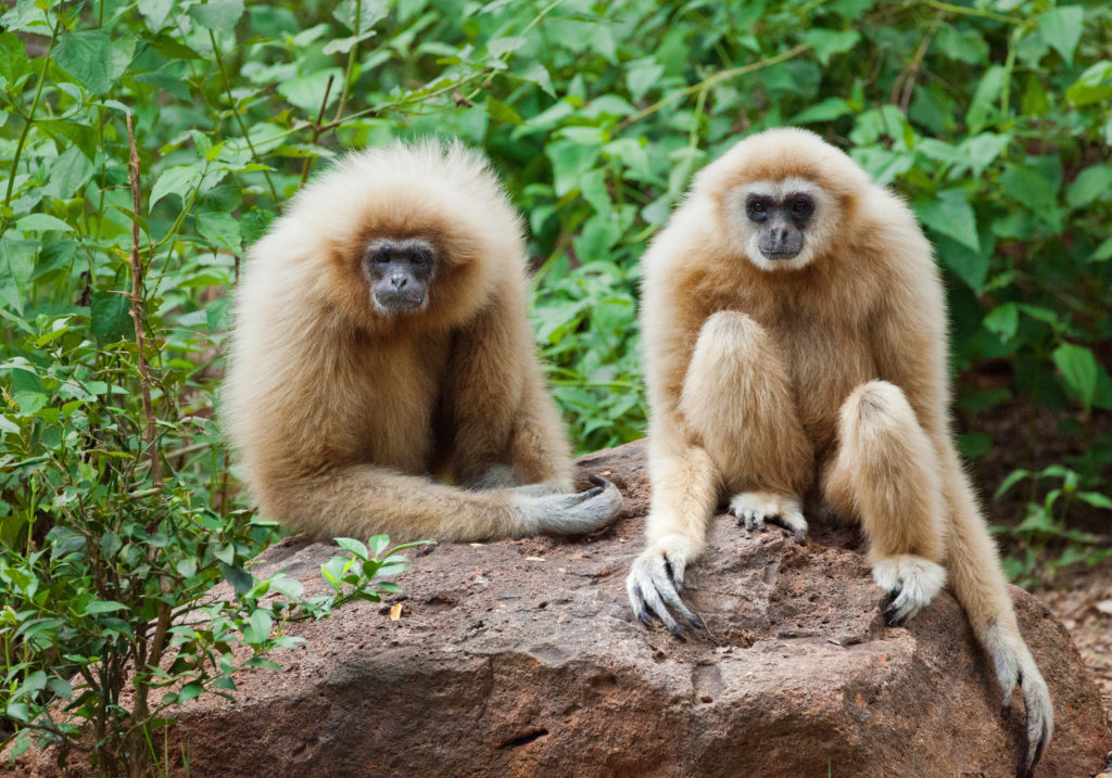 While many primates live in pairs, the reasons behind this evolutionary step remained unclear.