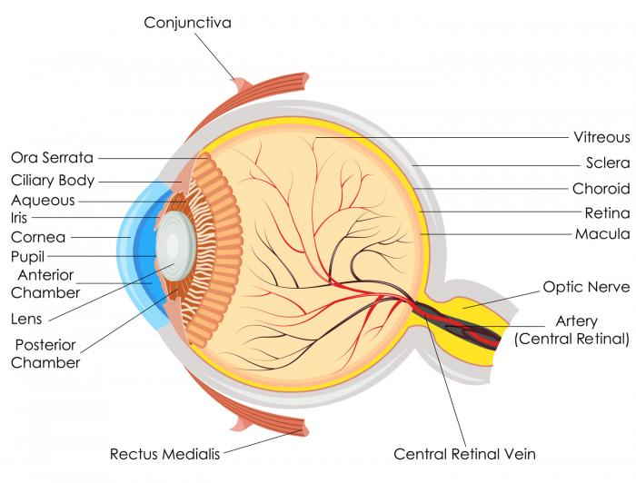 The retina attaches the back of they eye.