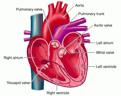 What are heart valves