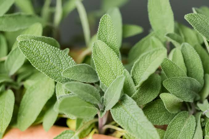 Sage is a nutrient-dense and flavorful herb.